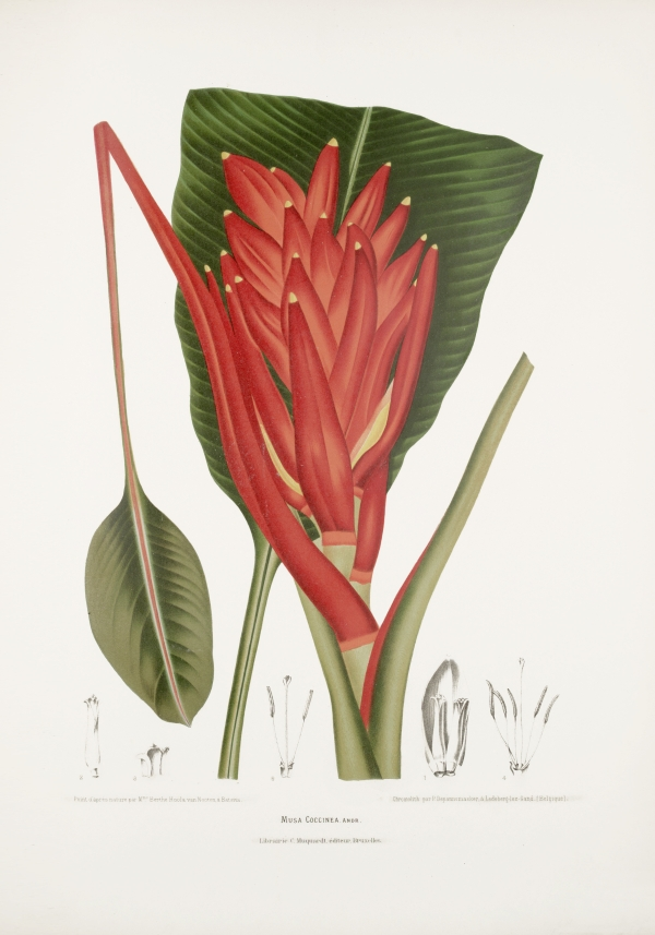 Musa-coccinea-botanical-illustration-vintage-antique-print