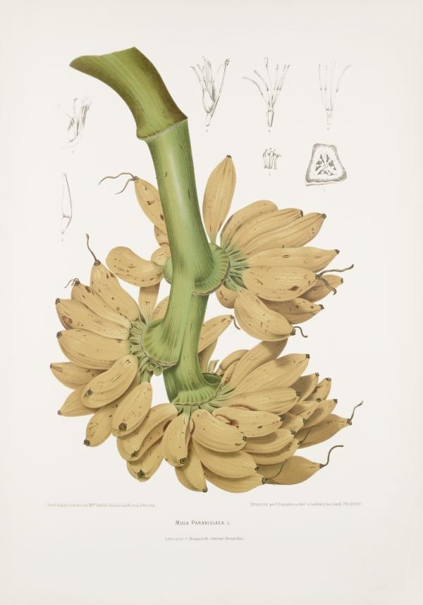 Musa-paradisiaca-botanical-illustration-vintage-antique-print