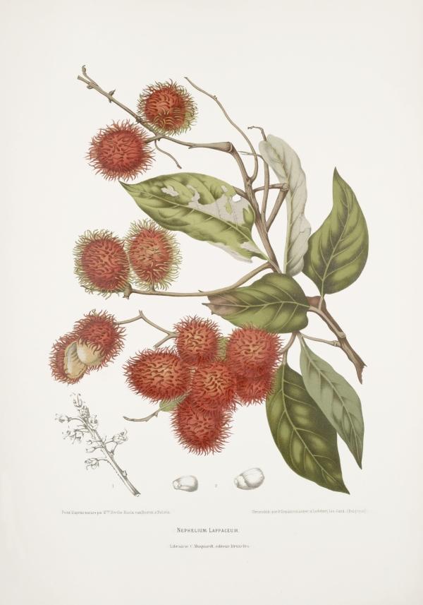 Nephelium-lappaceum-botanical-illustration-vintage-antique-print