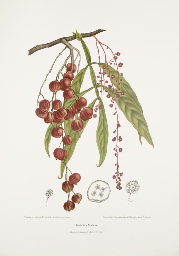 Otophora-Lepisanthes-alata-botanical-illustration-vintage-antique-print