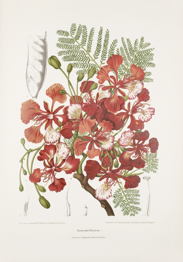 Poinciana-delonix-regia-botanical-illustration-vintage-antique-print