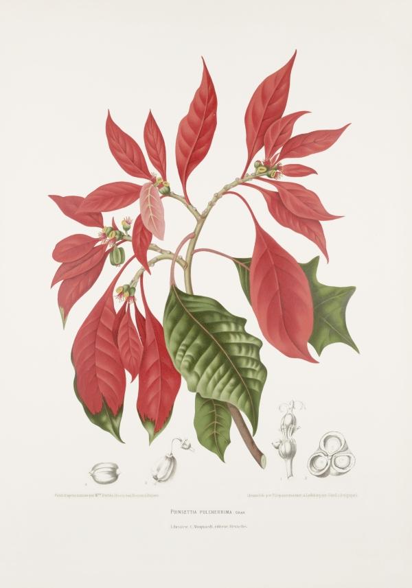 Poinsettia-euphorbia-pulcherrima-botanical-illustration-vintage-antique-print