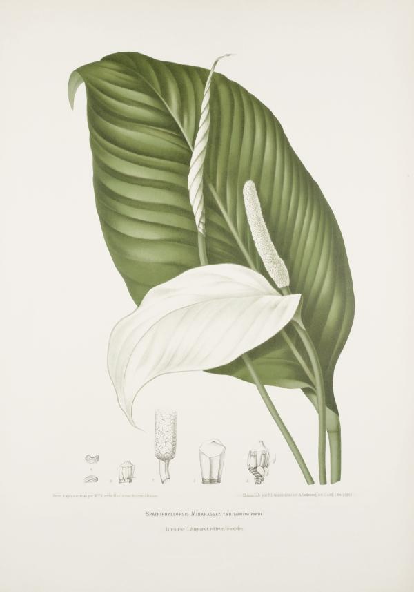 Spathiphyllopsis-minahassae-botanical-illustration-vintage-antique-print