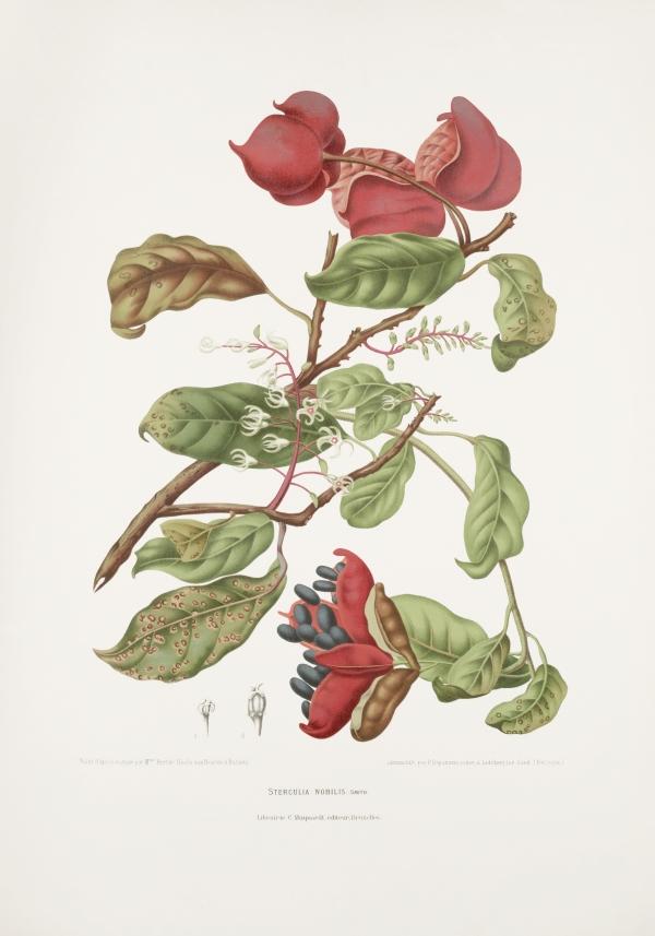 Sterculia-nobilis-monosperma-botanical-illustration-vintage-antique-print