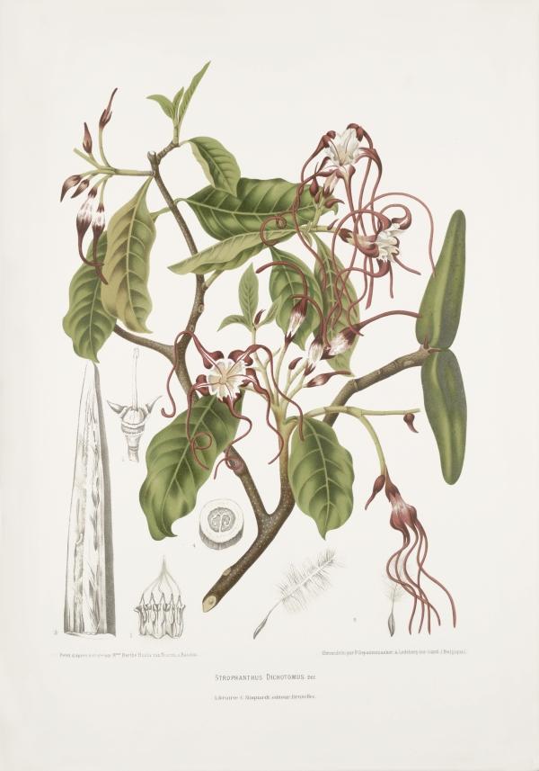 Strophantus-dichotomus-dec-botanical-illustration-vintage-antique-print