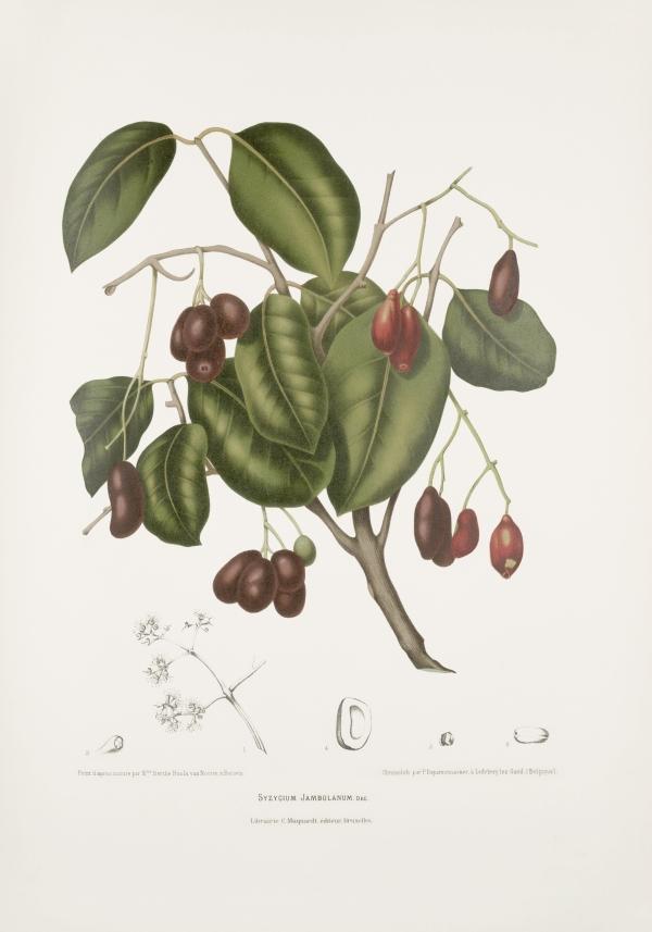 Syzygium-cumini-jambolanum-botanical-illustration-vintage-antique-print