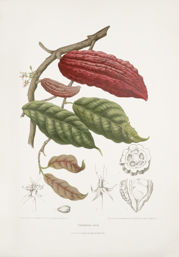 Theobroma-cacao-botanical-illustration-vintage-antique-print