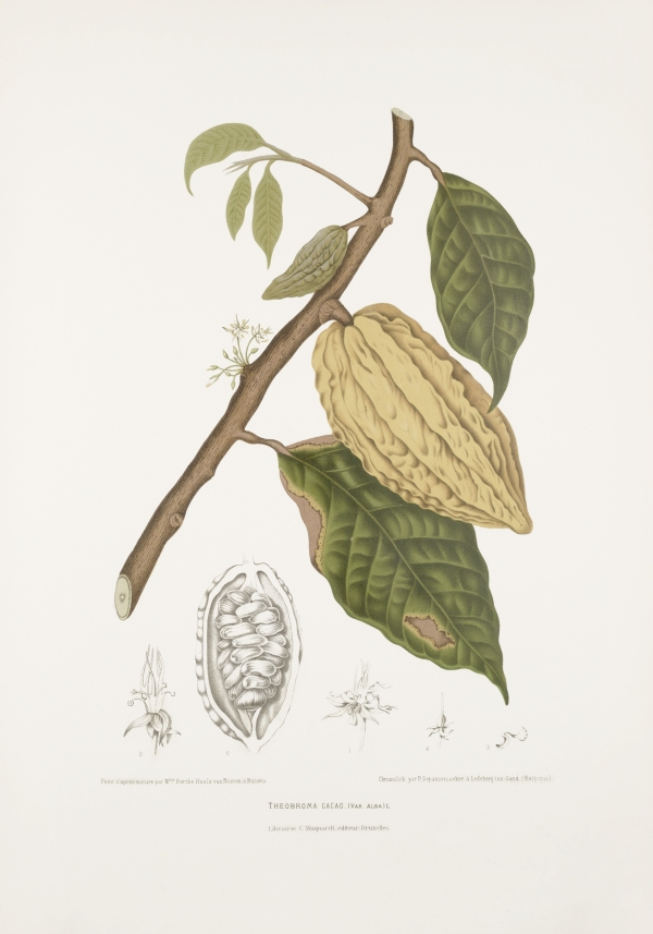 Theobroma-cacao-varietas-alba-botanical-illustration-vintage-antique-print