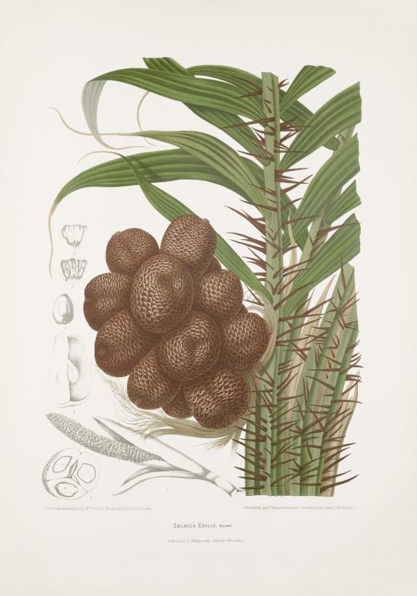 Zalacca-salacca-edulis-botanical-illustration-vintage-antique-print