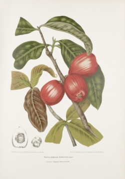malay-rose-apple-fruit-painting