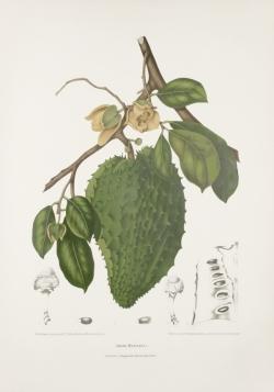 antique-botanical-plant-fruit-flower-prints