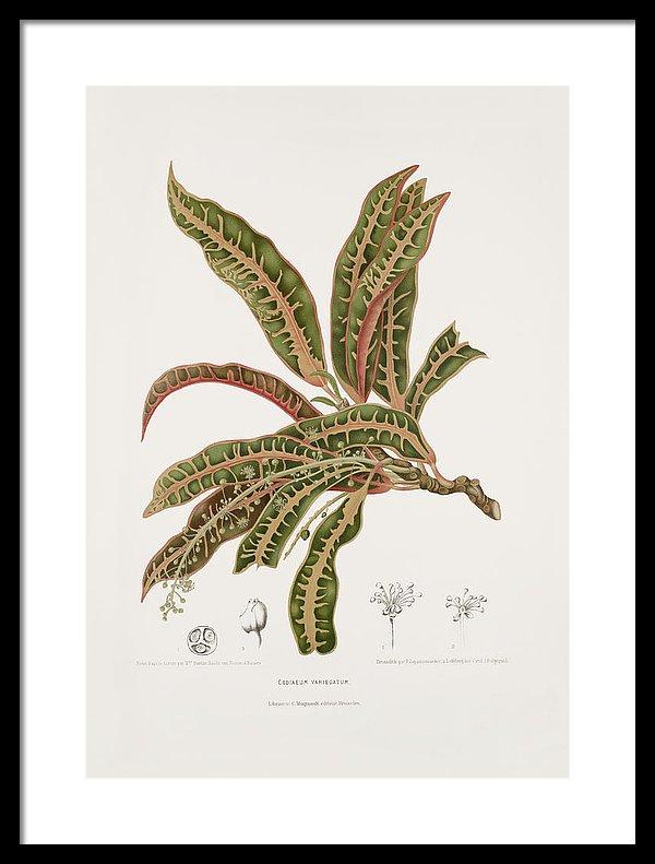 variegated-croton-moira-risen