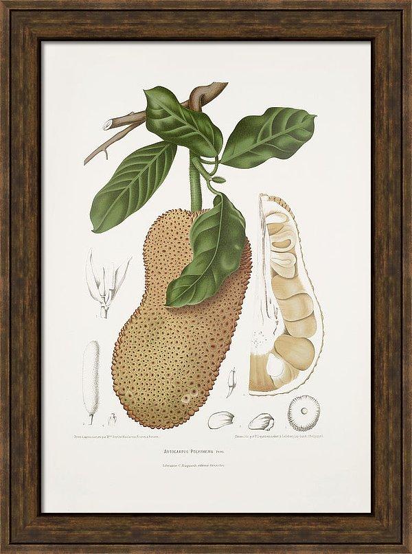 vintage-botanical-illustrations-chempedak-tree-madame-berthe-hoola-van-nooten