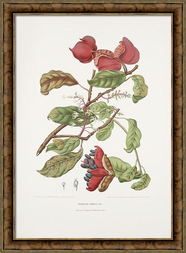 vintage-botanical-illustrations-chinese-chestnut-madame-berthe-hoola-van-nooten