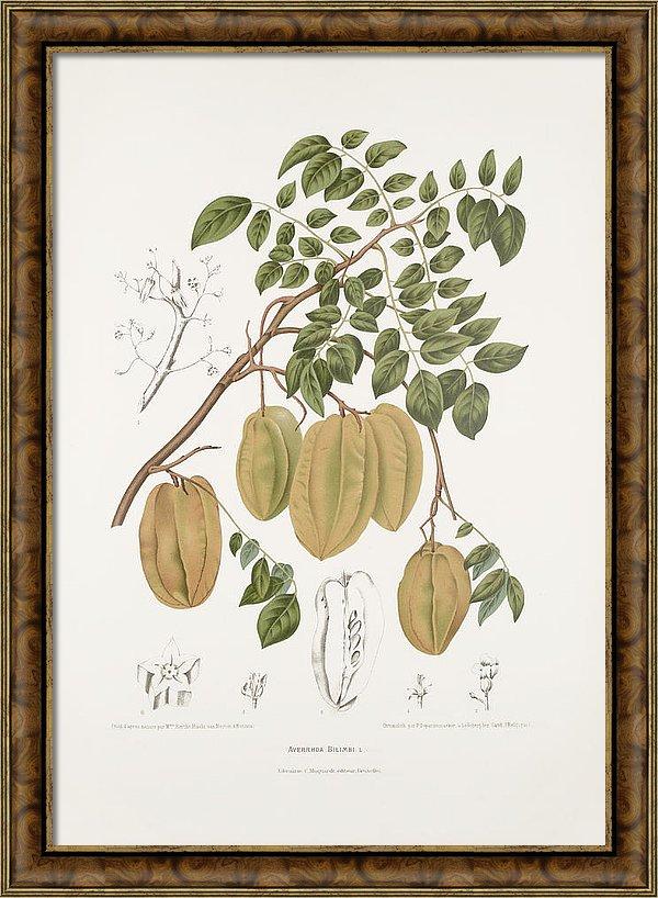 vintage-botanical-illustrations-cucumber-tree-madame-berthe-hoola-van-nooten