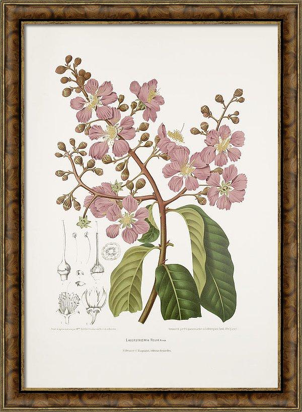 vintage-botanical-illustrations-giant-crepe-myrtle-tree-madame-berthe-hoola-van-nooten