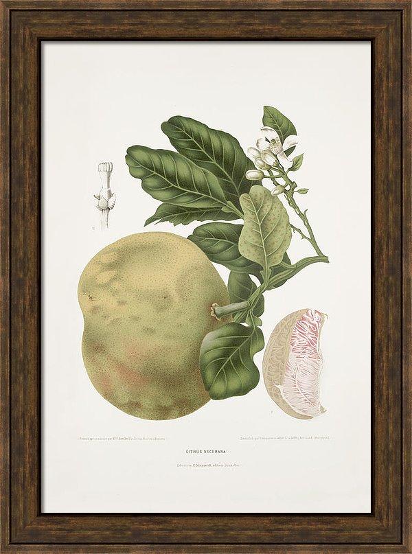 vintage-botanical-illustrations-grapefruit-tree-moira-risen