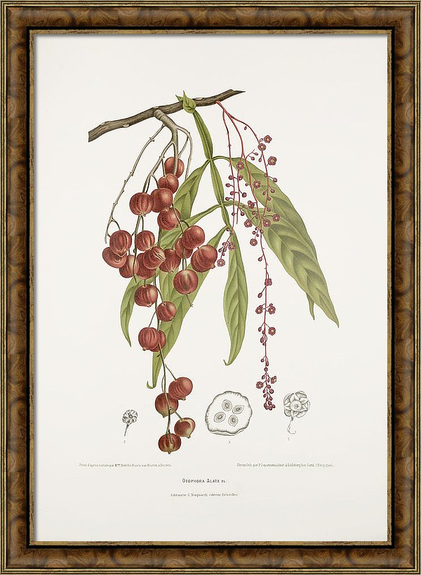 vintage-botanical-illustrations-johora-tree-madame-berthe-hoola-van-nooten