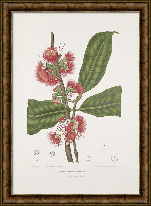 vintage-botanical-illustrations-malay-rose-apple-flower-madame-berthe-hoola-van-nooten