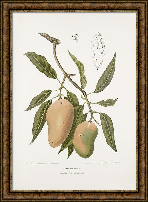 vintage-botanical-illustrations-mango-vintage-botanical-illustration-of-the-original-drawing-was-made-by-madame-berthe-hoola-van-nooten