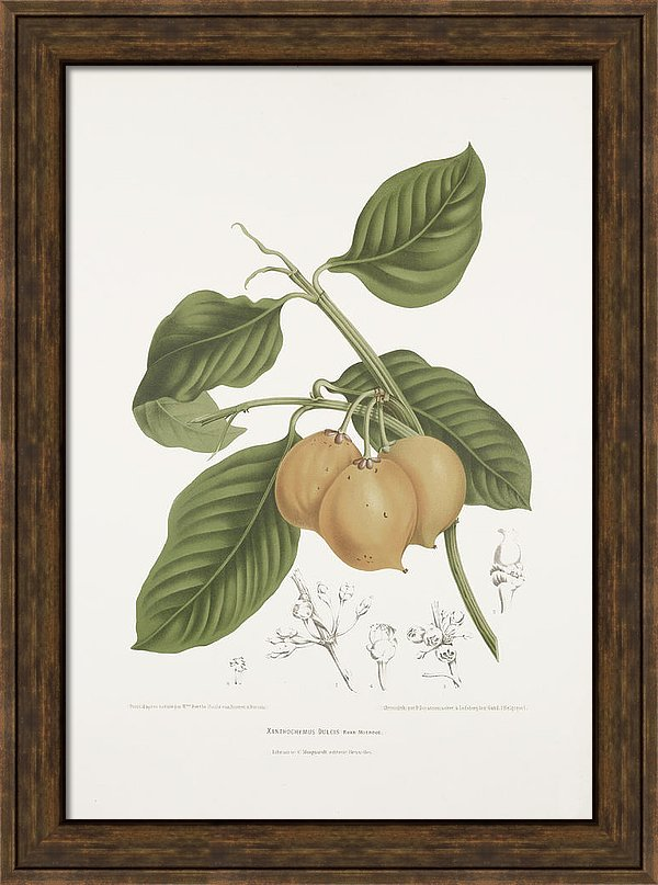 vintage-botanical-illustrations-mundu-tree-madame-berthe-hoola-van-nooten
