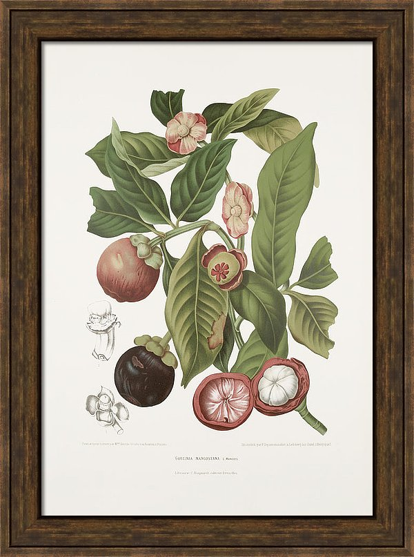 vintage-botanical-illustrations-purple-mangosteen-madame-berthe-hoola-van-nooten
