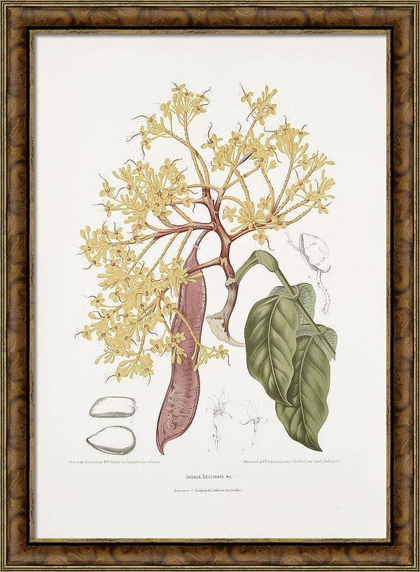 vintage-botanical-illustrations-red-saraca-tree-madame-berthe-hoola-van-nooten