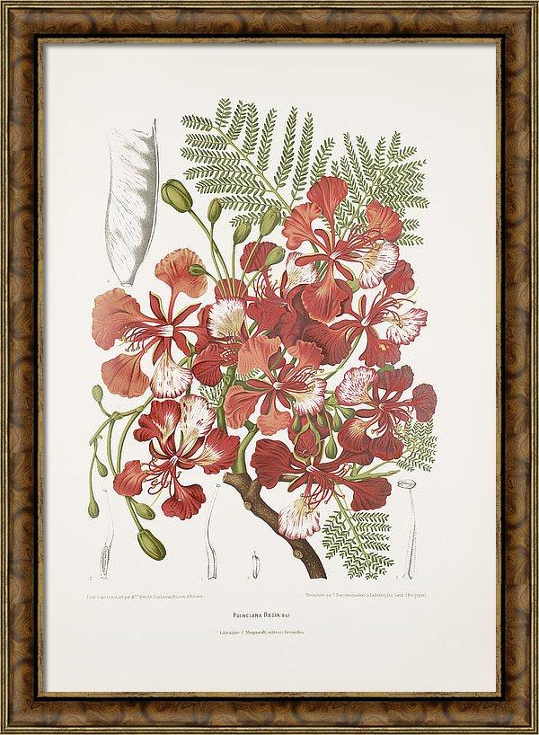 vintage-botanical-illustrations-royal-poinciana-tree-madame-berthe-hoola-van-nooten