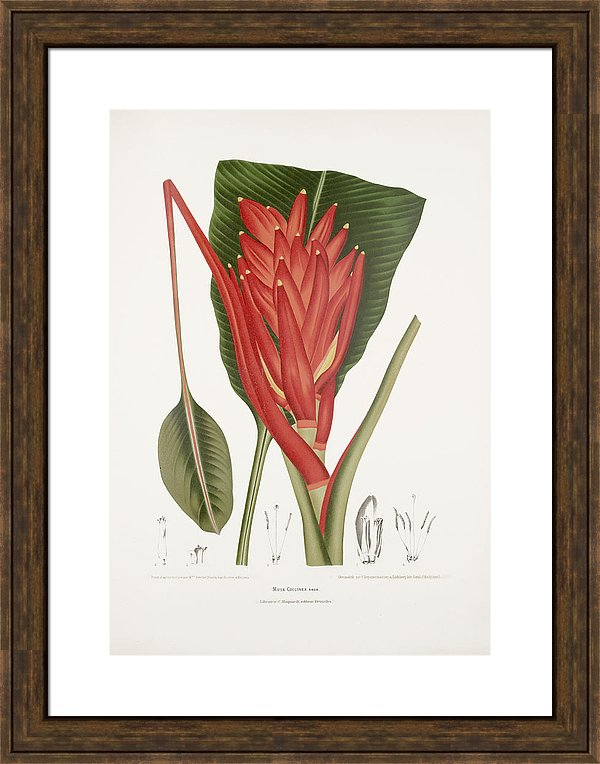 vintage-botanical-illustrations-scarlet-banana-moira-risen