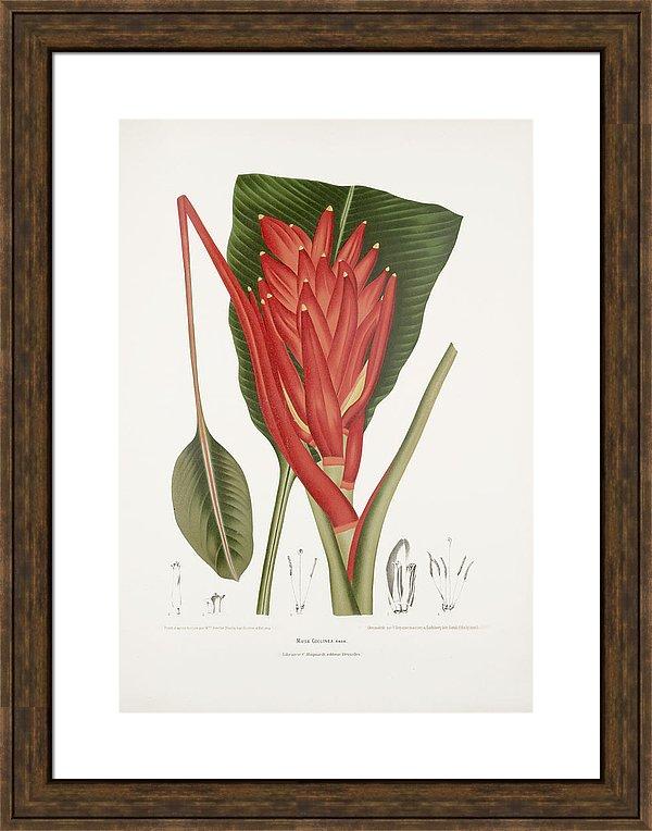 vintage-botanical-illustrations-scarlet-banana-moira-risen
