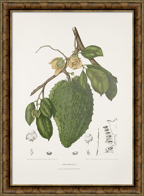 vintage-botanical-illustrations-soursop-tree-madame-berthe-hoola-van-nooten