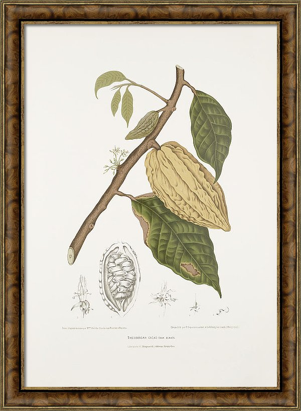 vintage-botanical-illustrations-white-cacao-cocoa-tree-madame-berthe-hoola-van-nooten