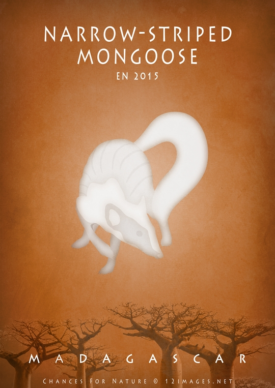 narrow-striped-mongoose