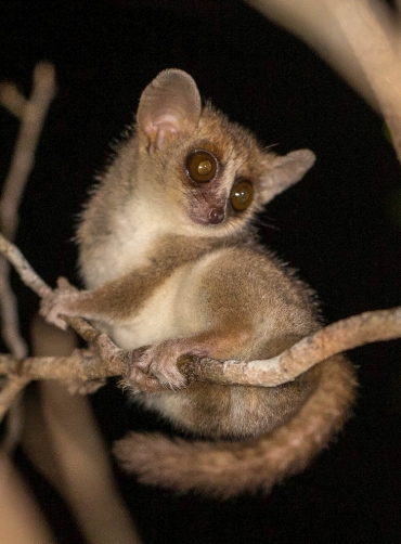 grey-mouse-lemur-madagascar-nocturnal-animals