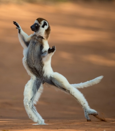 verreaux-sifaka-dancing-madagascar-lemur-endangered